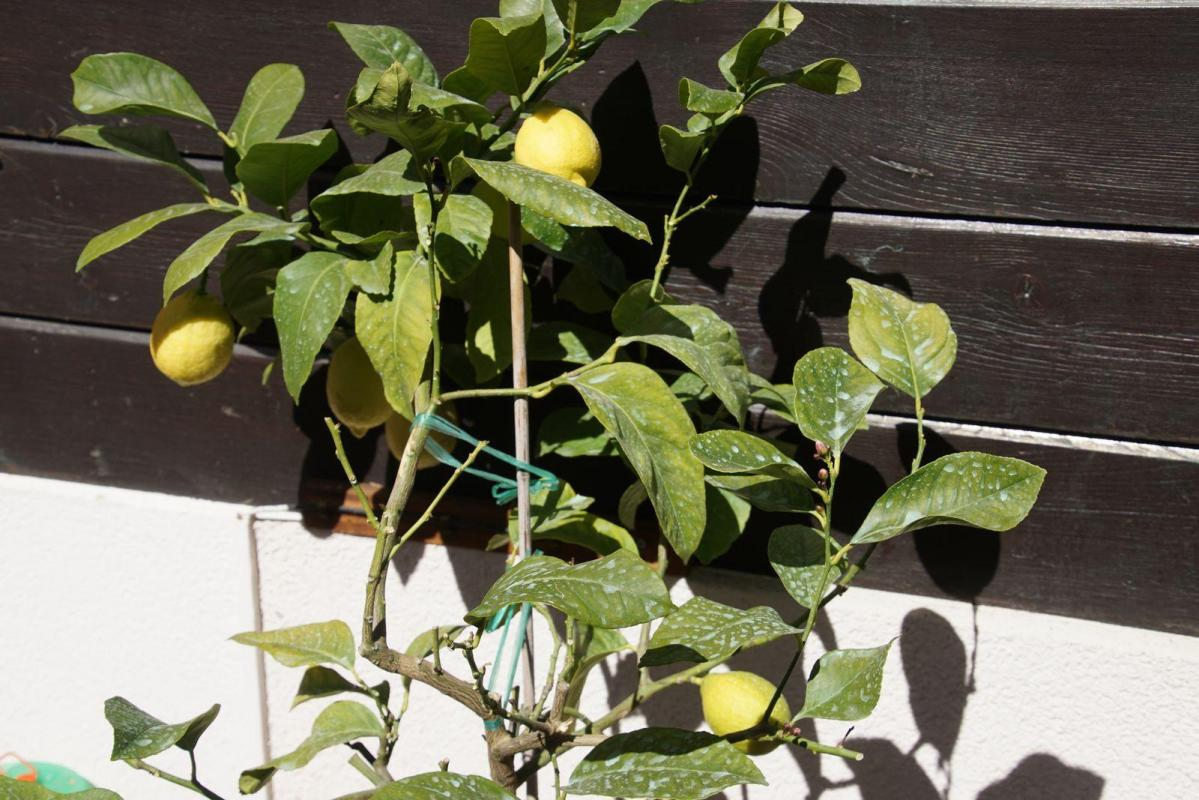 Citrons de bieudron