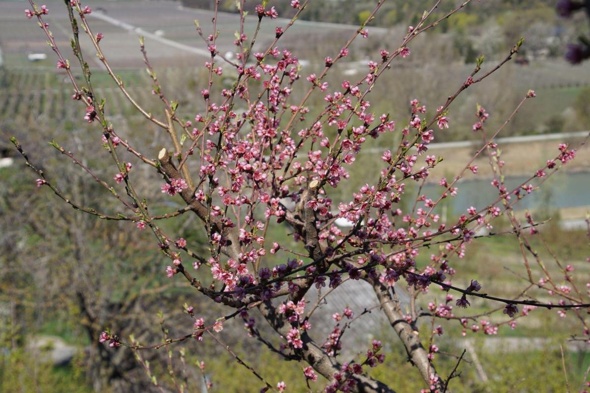 Fleurs de pecher des vignes