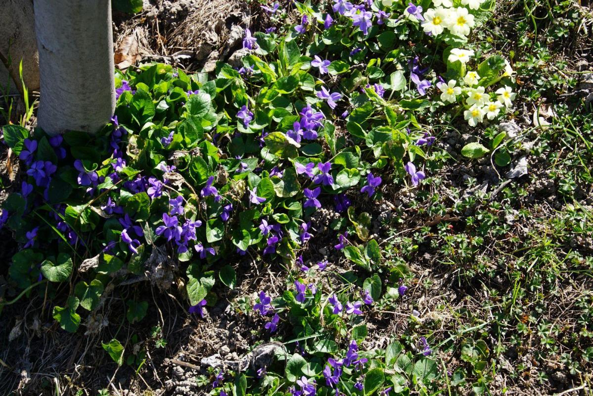 Violettes des rocailles fh 720